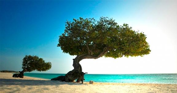 Divi-divi, árvore símbolo de Aruba